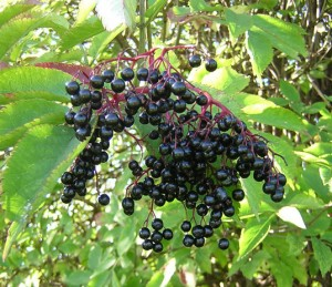 DIY Elderberry Syrup Recipe, Holistic Living with Kristy
