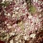 Sore Throat Drops (herbs)